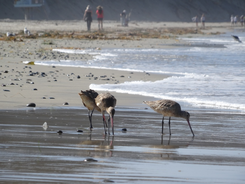 Birds at Torrey Pine State Reserve.