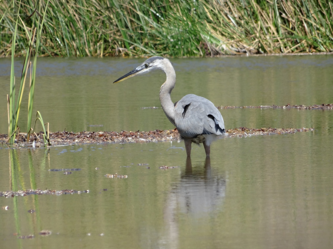 Great blue heron at Crystal Cove State Park.