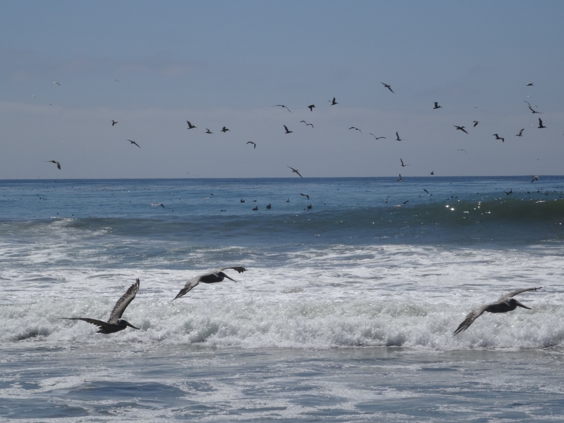 Pelicans at Moonstone Beach