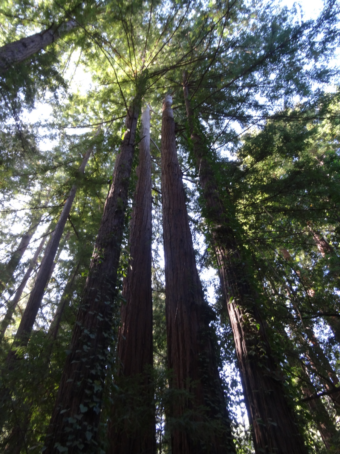 Redwood trees in Big Sur.