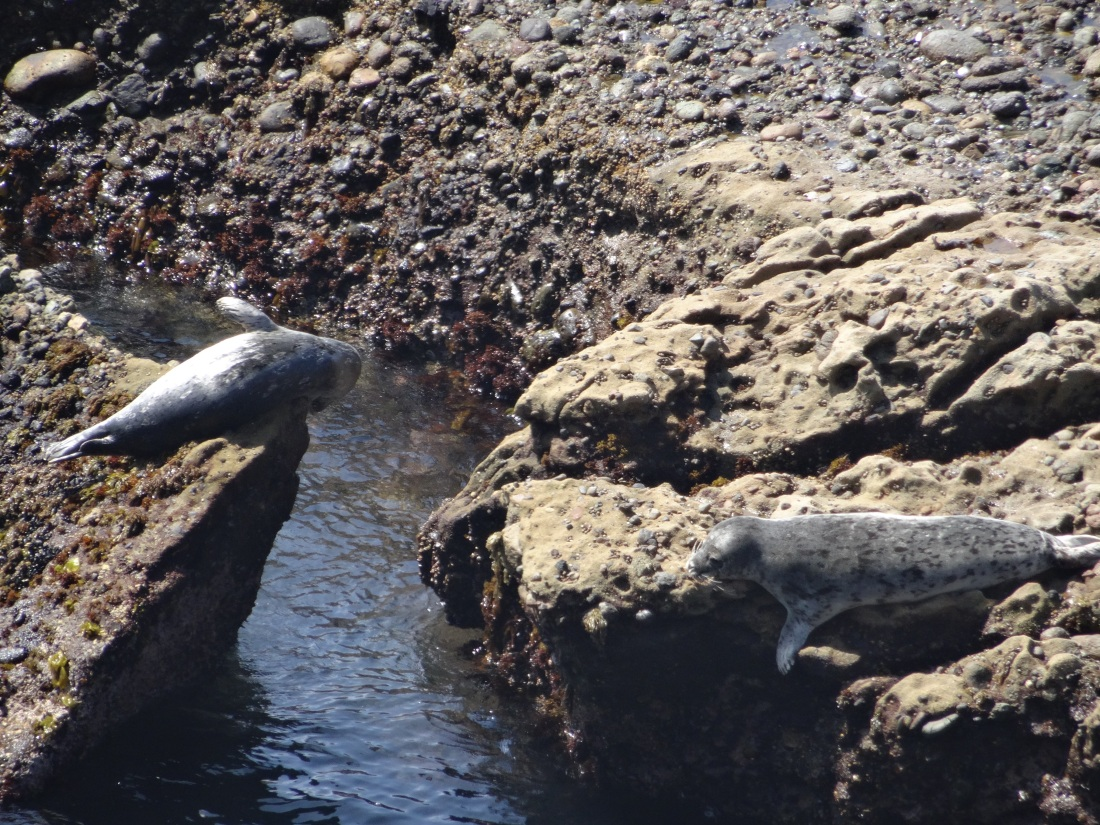Harbor seals at Point Lobos State Reserve