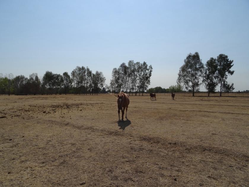 Quarter horses.