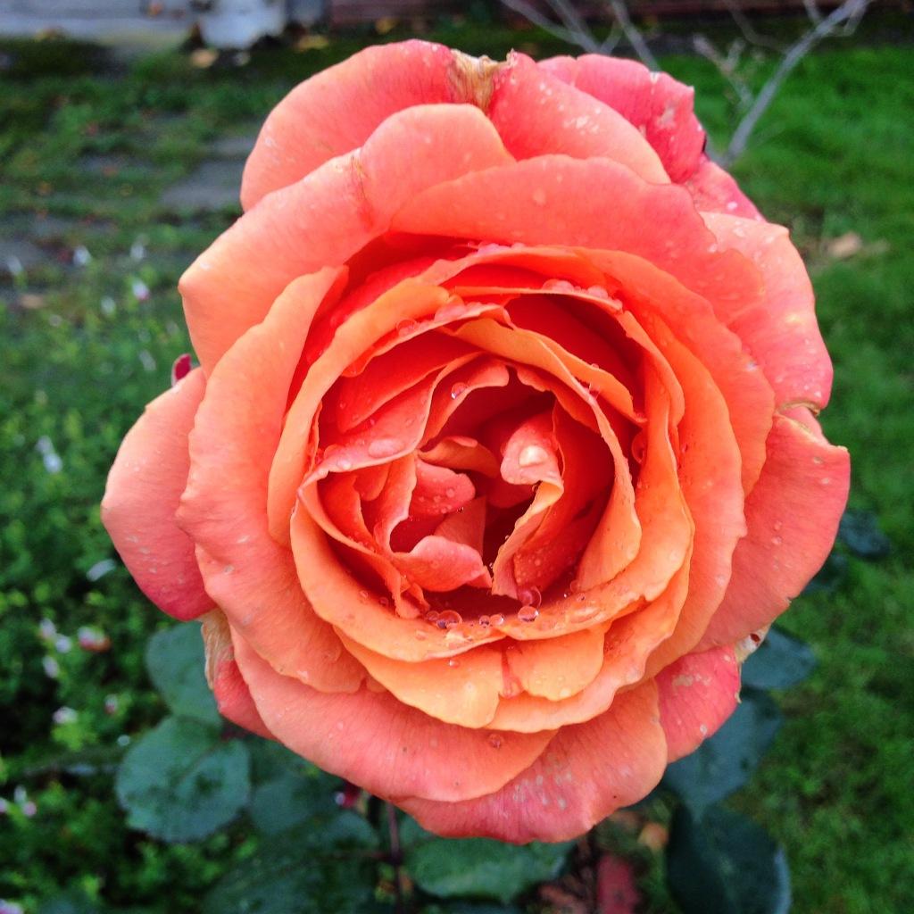 Sedona Rose in November